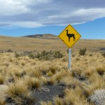 Watching out for Guanacos
