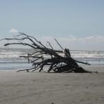 Waikanae Beach driftroots